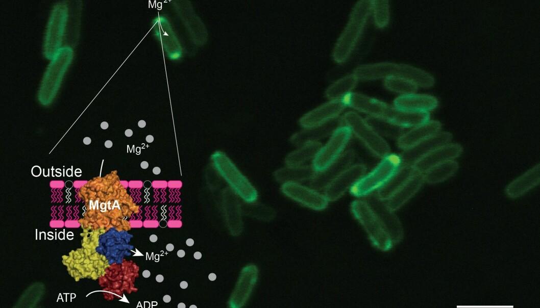 Grønn farge viser nanopumper. Det flerfargede området viser hvordan pumpen sitter på bakterien. Gul farge er selve «maskinen» i pumpen. De grå feltene er magnesiumatomer. (Foto: Jens Preben Morth, UiO)