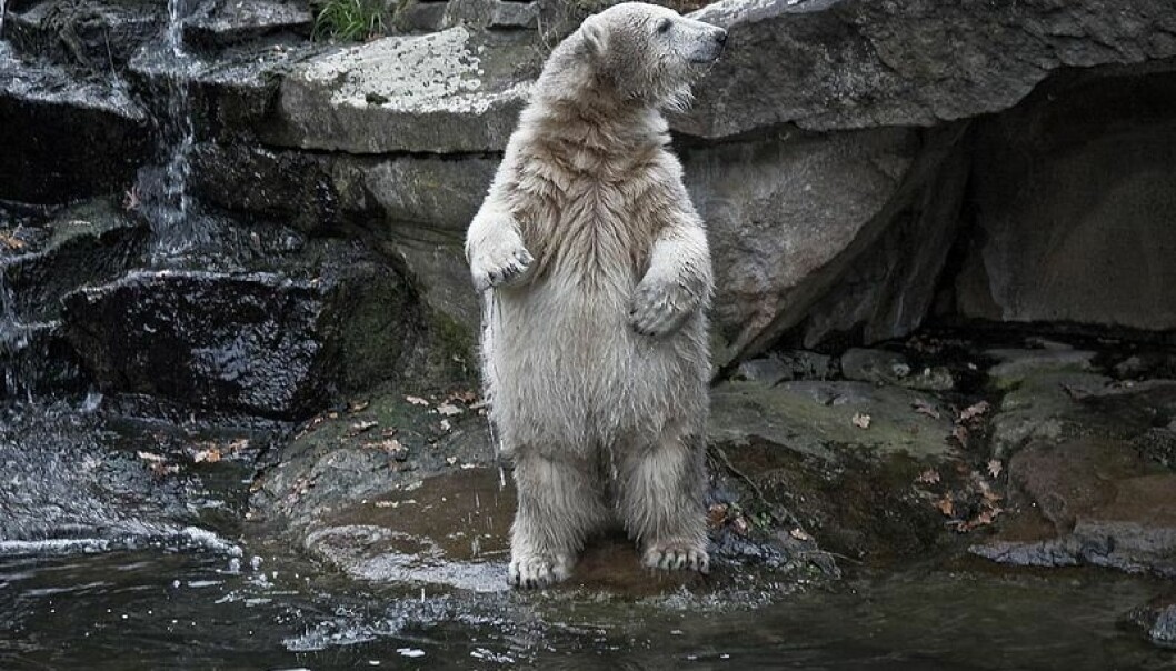 Knut, the polar bear from Berlin. (Photo: Wikemedia Commons)