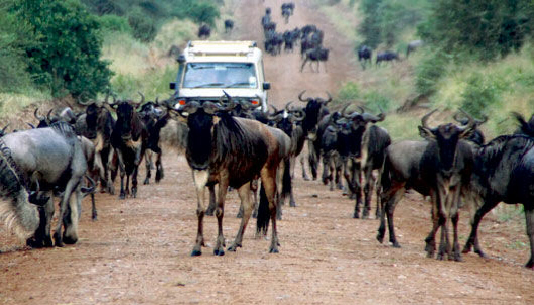 Wildebeests in the thousands cross existing roads in Serengeti National Park, says Eivin Røskaft, an NTNU biologist. Building another road to take pressure off of the existing network will not harm the population, he says. (Photo: E. Røskaft)