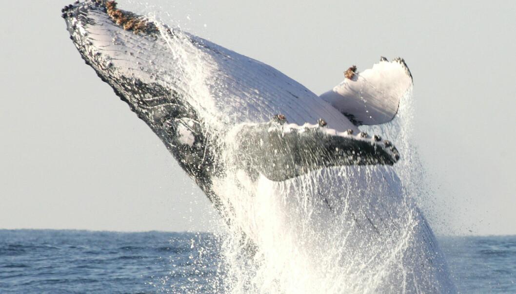 En knølhval utenfor Sør-Afrika. Det viste seg at knølhvalen samlet seg i to grupper på hver sin ende av Georges Bank. (Illustrasjonsbilde: Mike Hutchings/Reuters/NTB Scanpix)