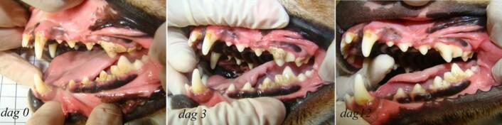 Ved start dekket tannsteinen 35–40 prosent av tennenes sideflater. Belegget ble redusert med 35–55 prosent etter tre dager og 70–80 prosent etter tolv dager. På de bakerste jekslene var det vanskelig å få fjernet tannstein. Ingen av hundene som var med i forsøket, fikk skader på tennene. (Foto: Foto: Fábio Ritter Marx)