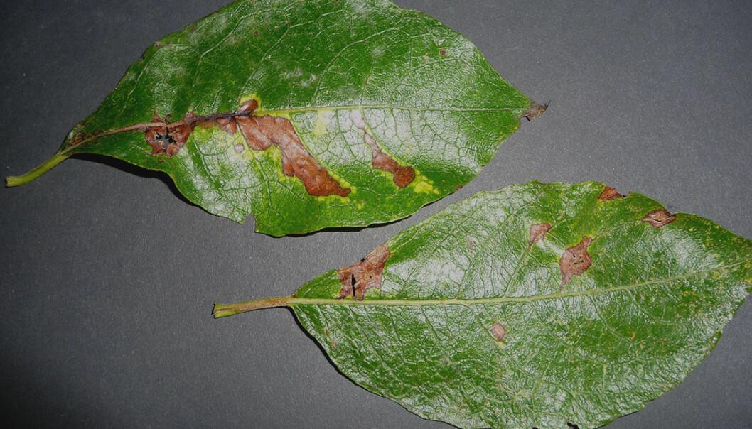Sykdom truer landets seljeskog