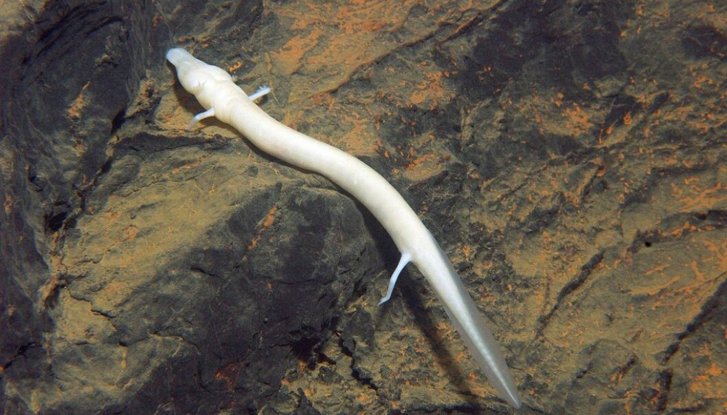 Olmen, som er i familien hulepadder og som på latinsk heter Proteus, svømmer som en ål og kan klare seg ti år uten mat. (Foto: Nacionalni park Una/Wikimedia commons)