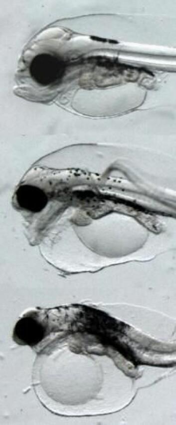 Resultater av økende oljepåvirkning på hyselarver. En ueksponert hyselarve (øverst), en eksponert larve med hodeskader (midten) og en larve med pukkelrygg (nederst). (Foto: Elin Sørhus)