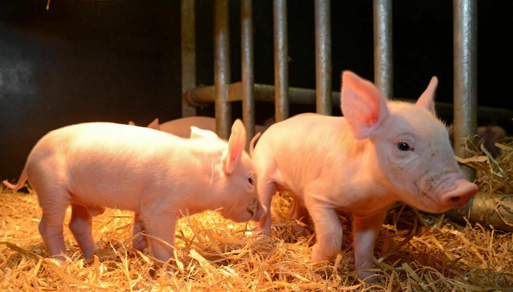 Disse griseungene har fått redigert noen av genene sine, etter oppskrift fra genene til afrikanske villsvin. Forskerne håper det skal gi grisene motstandskraft mot farlig afrikansk svinepest.  (Foto: Norrie Russell, The Roslin Institute, University of Edinburgh)