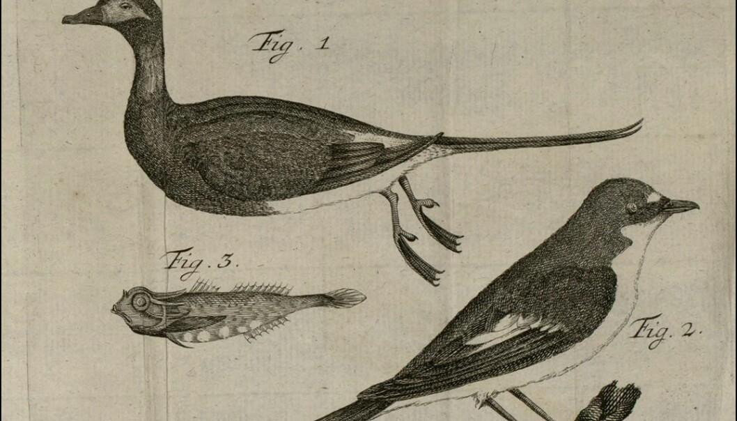 """På 1700-tallet satt det mange prester i Norge som forsket, publiserte, kommuniserte med vitenskapsmenn i utlandet, brukte mikroskop, abonnerte på vitenskapelig tidsskrifter og bygde opp sitt eget bibliotek, skriver kronikkforfatteren. Her er prest Hans Strøms egen tegning fra artikkelen """"Om et Par rare Fugle"""" fra 1774. (Bilde: Hans Strøm)"""