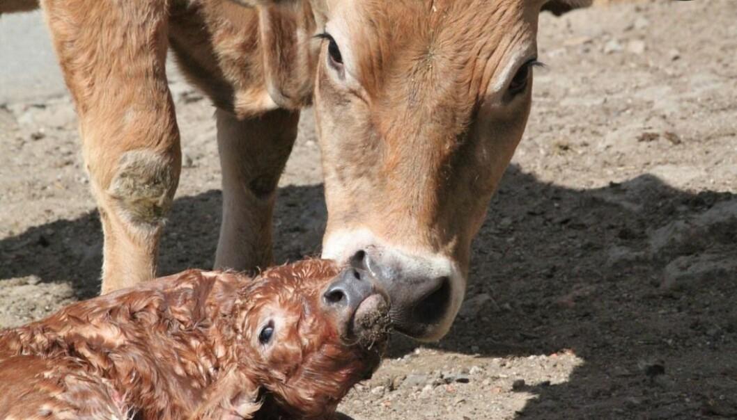 Det er vanskelig å si nøyaktig hvor vondt det gjør for kua å føde kalven. Men det er ingen tvil om at det er en smertefull opplevelse for den, sier Mette S. Herskin, som forsker på husdyrs smerter. (Foto: Girod-B. Lorelei/Shutterstock/NTB scanpix)