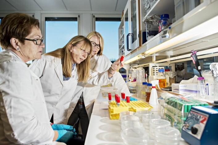 Nofima-forskerne Janina Berg (fra venstre), Solveig Langsrud og Anlaug Ådland Hansen studerer synlig vekst av bakterier i det mikrobiologiske laboratoriet ved Nofima på Ås. Bakteriene er isolert fra torsk, analysert ved hjelp av DNA-baserte metoder og dyrket opp til bruk i videre forsøk for å undersøke hemming av kvalitetsødeleggende bakterier. (Foto: Jon-Are Berg-Jacobsen, Nofima)