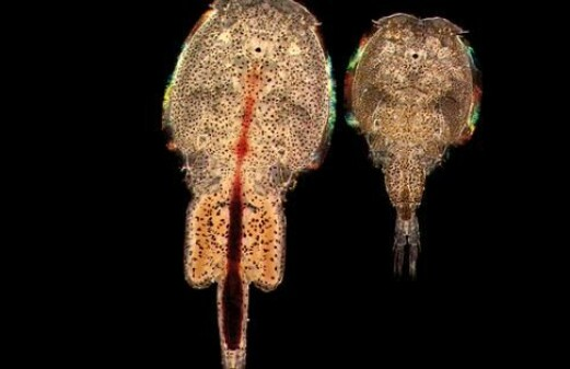 The lifecycle of the salmon louse has changed