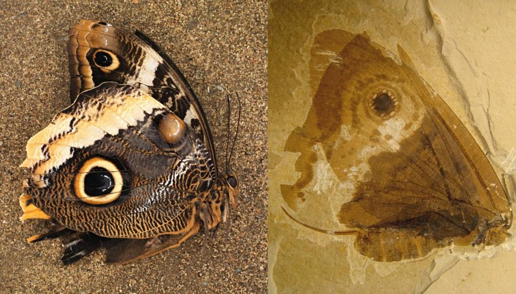 Ny forskning tyder på at sommerfugldesignet er så hensiktsmessig at det har oppstått to ganger, uavhengig av hverandre. Her ser vi fossilet av en urgammel sommerfugl til høyre, og en moderne en til venstre. (Illustrasjon: Conrad Labandeira, Jorge Santiago-Blay, Smithsonian)