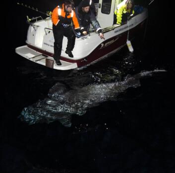 Stor kønsmoden håkjerring-hun på mere end 4 m. Fisken blev fanget på fiskestang sammen med Andørja Adventures i efteråret 2014. Fra længde og omkreds blev vægten beregnet til ca. 750 kg.   (Foto: Julius Nielsen)