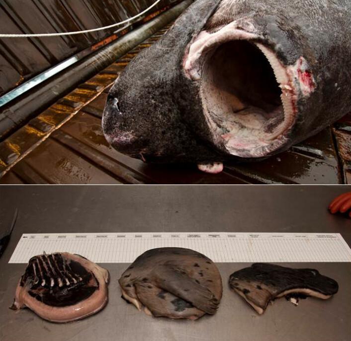 Håkjerringens tandsæt er karakteriseret ved at være cirkel rundt. Tænderne i undermunden er som barberblade der nemt skærer gennem knogler og spæk. De cirkelrunde sælstykker er fundet i maven på en haj og passer med bidmærker der er observeret på en levende hvidhval. (Foto: Julius Nielsen)