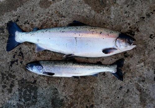 Coastal streams spread virus between farmed fish