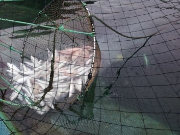 Tissue particles, fat droplets and salmon that fall out of the hand net. (Photo: Stein Erich Solevåg)