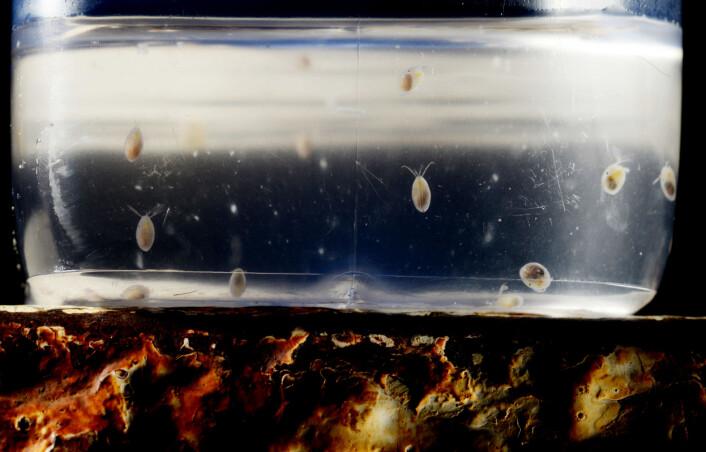 Levende eksemplarer af krebsdyr hvor lyset ikke kan ses når de bliver oplyst af kameraets blitz. (Foto: Julius Nielsen)