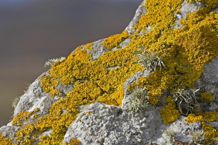 Lavterskeltilbud. Lav overlever best i karrige strøk hvor planter ikke klarer seg. (Foto: Colourbox)
