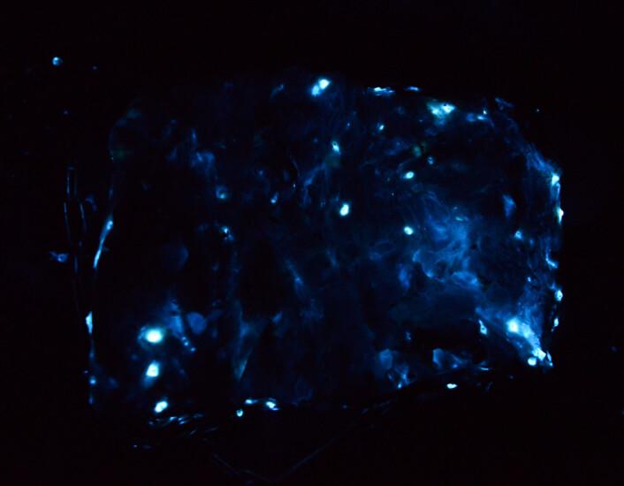 I mørket ses de enkelte krebsdyr meget tydeligt som kraftigt lysende pletter på kødet. Det ses også at det ca 30x20 cm store stykke kød er smurt ind i den lysende væske som dyrene afgav når vi rørte ved dem. Det er formentlig en forsvarsmekanisme som er nyttig for dyret i dybhavet. (Foto: Julius Nielsen)