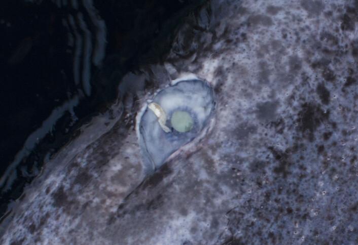 De fleste håkjerring vi fanger er infisert med denne parasittiske kopepoden (Ommatokoita elongata). (Foto: Kim Præbel)