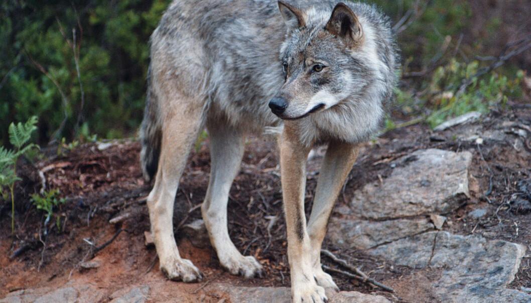 Ulv foretrekker skogen, og Norge ingen nasjonalparker med skog som er store nok til å romme bærekraftige bestander av dyra, skriver kronikkforfatterne. (Foto: NTB Scanpix)