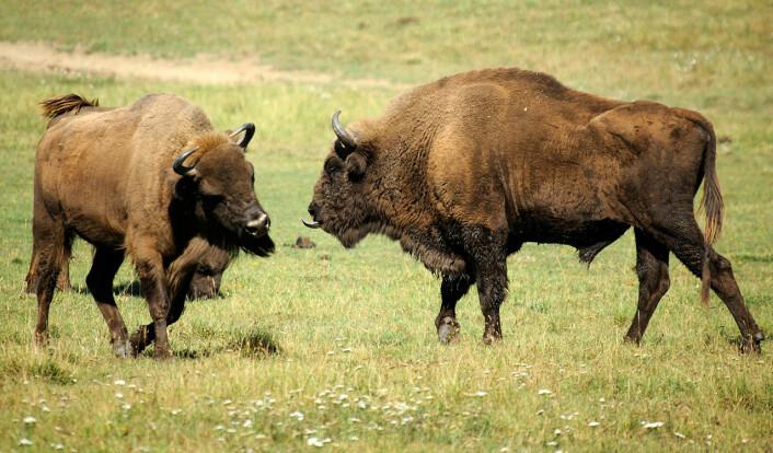 Europeisk bison ble innført fra Polen og satt ut på Bornholm i 2012. Dyrene hadde en parasitt som senere tok livet av tre av dem. Disse dyrene lever i et naturreservat i Frankrike. (Foto: Valène Aure, Creative Commons Attribution-Share Alike 3.0 Unported)