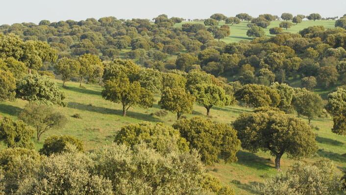Trær suger mer vann fra jorda enn landbruket. Dermed kan grunnvannet synke i tørre områder i middelhavslandene, ifølge en spansk studie fra 2003. Skogen på bildet vokser i Salamanca i Spania. (Foto: Pravdaverita, Creative Commons Attribution-Share Alike 3.0 Unported license.)