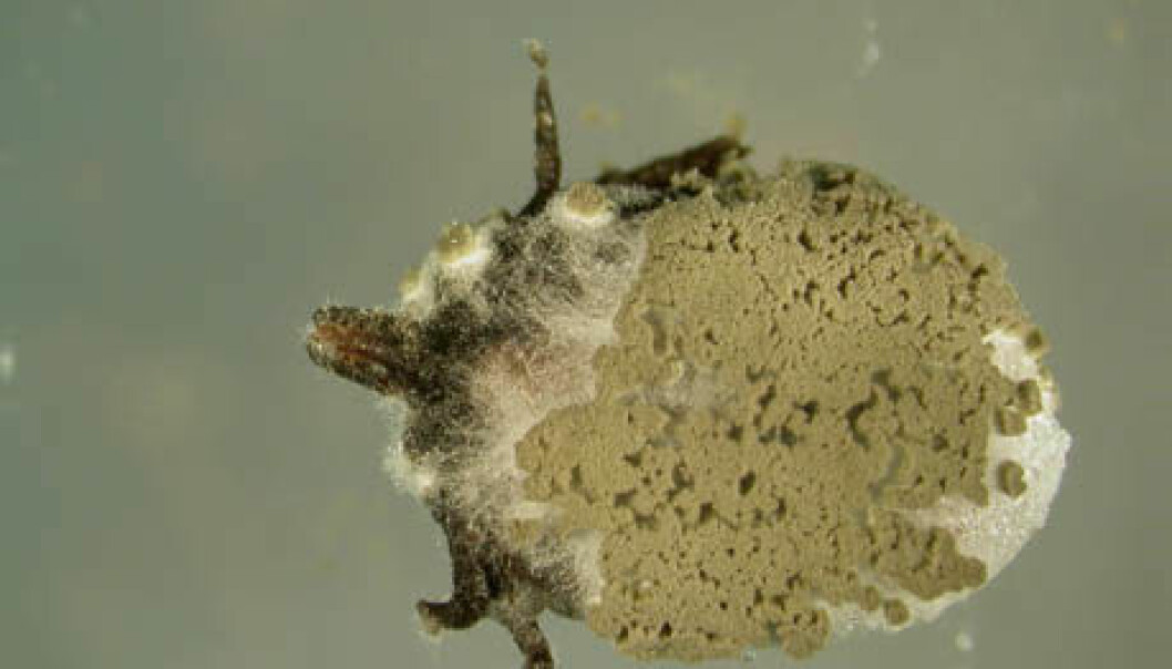 Infected female tick of the species, Ixodes ricinus. The fungus continues to grow inside the tick until it fills the whole body. Thereafter it extrudes out of the tick again and forms new spores on the outside of the body, which can spread to new ticks. (Photo: Karin Westrum, Bioforsk Plant Health)