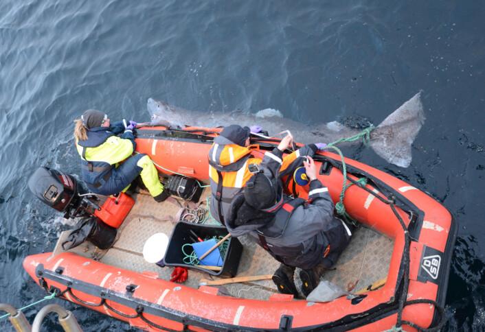 Den første håkjerring fanget på toktet. Det var en hunn på 3.14 meter i perfekt stand som etter undersøkelsene svømte rolig tilbake til sitt mørke og dype habitat. I gummibåten ses Katja Häkli, Kim Præbel og Julius Nielsen (Foto: Tanja L. Hanebrekke)
