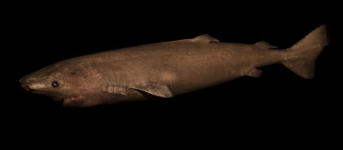 Håkjerring (Somniosus microcephalus) (Foto: Julius Nielsen)