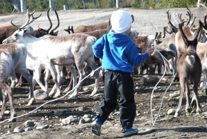 Livet går vidare, og neste generasjon reineigar treng trening/Life goes on, and a new generation reindeer herder needs practicing