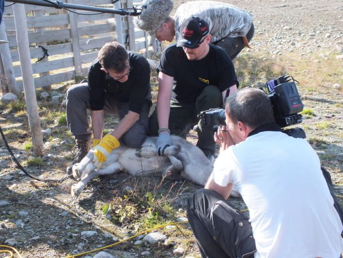 Kontrollmåling av radioaktivt cesium i rein før slakting. Heldigvis fine låge verdiar i haust/Control of radioactive caesium in reindeer before slaughter. Luckily nice low levels this time.