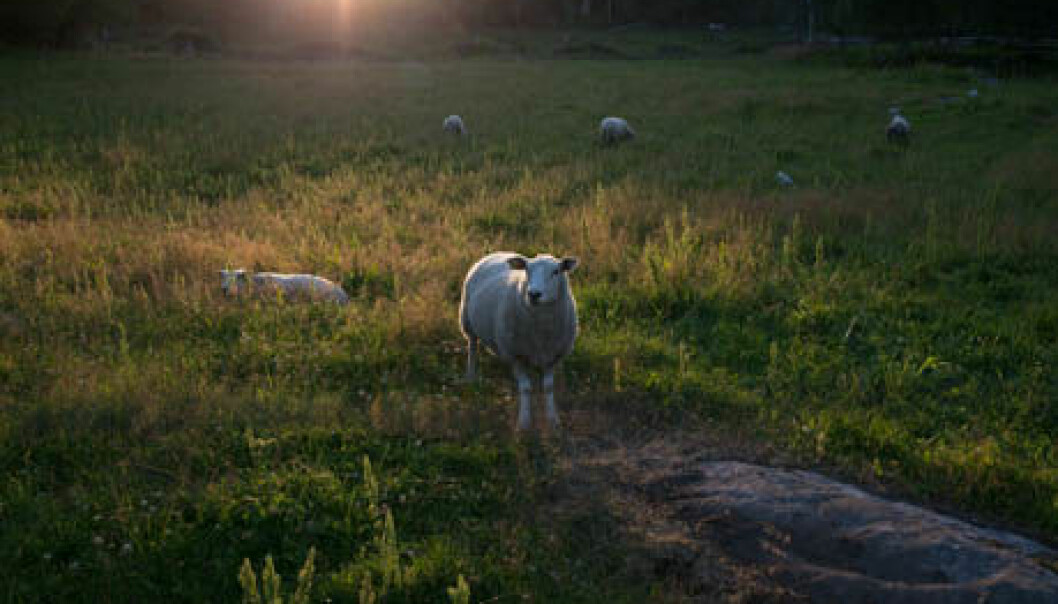 Tick-bites in sheep may cause the disease tick-borne fever (TBF), induced by the bacterium Anaplasma phagocytophilum (A.ph). TBF causes high fever and weakens the immune system. It is estimated that approximately 300,000 lambs are exposed to this bacteria each year. (Photo: Anette Tjomsland)