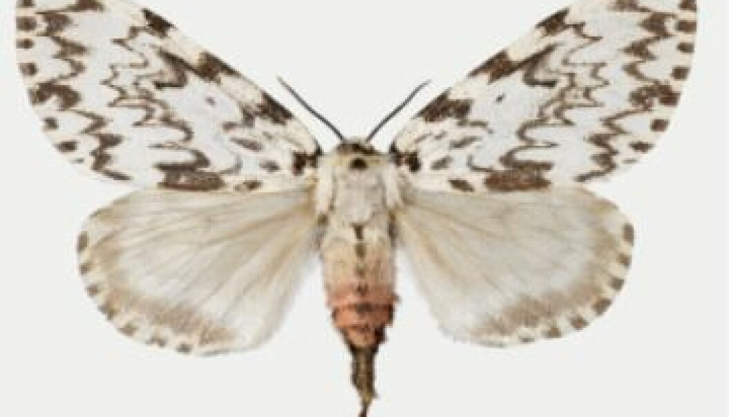 Nun moth. (Photo: The Norwegian Forest and Landscape Institute)