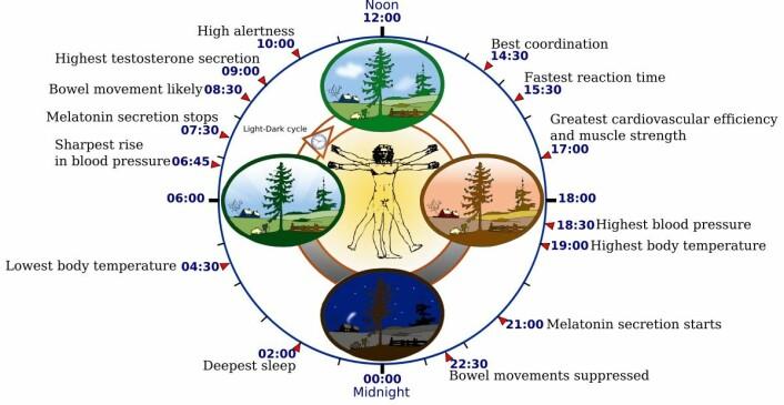 Figuren viser hvordan kroppsfunksjoner varierer gjennom døgnet. Disse biologiske rytmene styres av lys og mørke og av hormonet melatonin. (Foto: (Figur: Yassine Mrabet/Addicted04, GNU Free Documentation Licence v.1.2))
