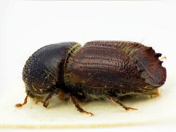 The spruce bark beetle. (Photo: The Norwegian Forest and Landscape Institute)