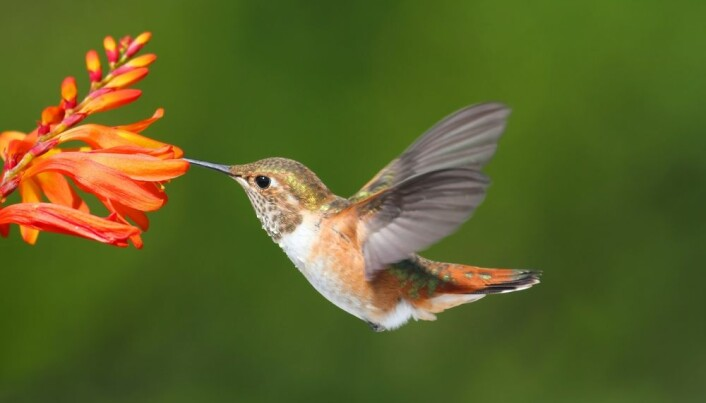 Hummingbirds can fly with almost no oxygen