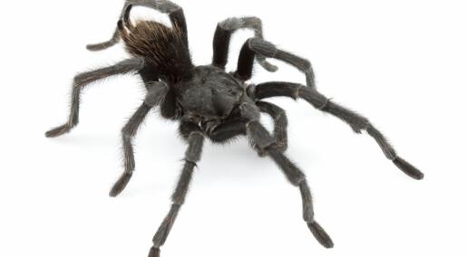 Møt edderkoppen Johnny Cash