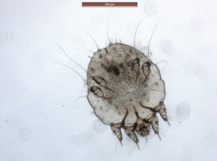 Mikroskopbilete av ein skabbmidd frå ulven. (Foto: Inger Sofie Hamnes,Veterinærinstituttet)