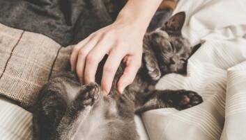 Hva er egentlig den merkelige brummelyden som kommer fra pusen? Og hvorfor maler egentlig katten?  (Illustrasjonsfoto: ajlatan/Shutterstock/NTB scanpix.)