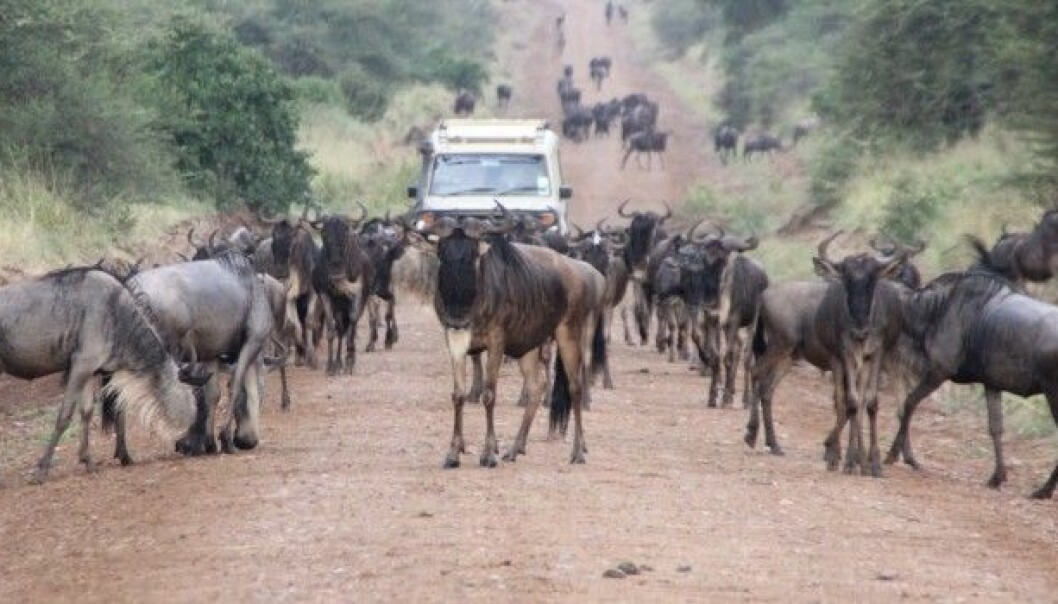 Migrating wildebeests and other animals in Serengeti and other Tanzanian National Parks can cause problems for villagers near and far by destroying crops and bringing disease to livestock. (Photo: Eivin Røskaft)