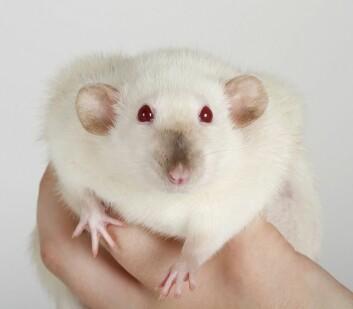 Undersøkelser har vist at mus som fikk tarmbakterier fra et menneske med fedme, ble fete selv. (Foto: Shutterstock /NTB Scanpix)
