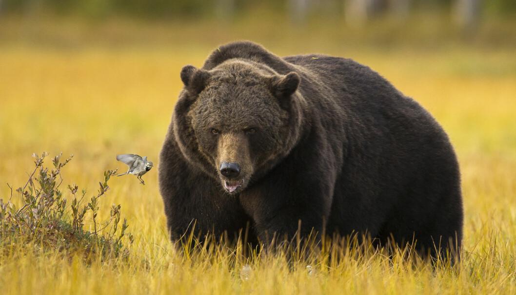 Hvordan kan bjørnen bli så tjukk, uten helseproblemer? (Foto: Arnfinn Johansen / NTB scanpix)