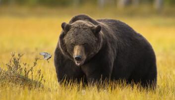 Derfor er bjørnen tjukk og sunn
