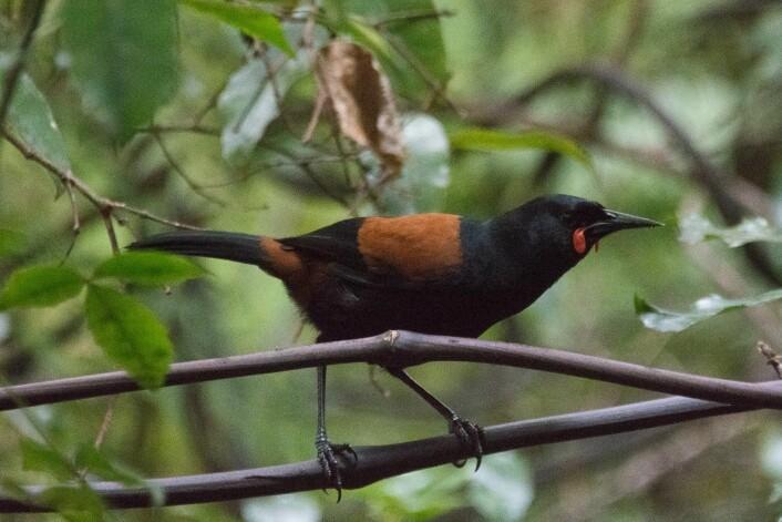 Sørlig sadelflikfugl (<em>Philesturnus carunculatus</em>) finnes i dag kun på små øyer utenfor kysten av New Zealand. Hele den gjenværende bestanden på drøyt 1200 individer er et resultat av omplasseringer. (Foto: Morten Günther)