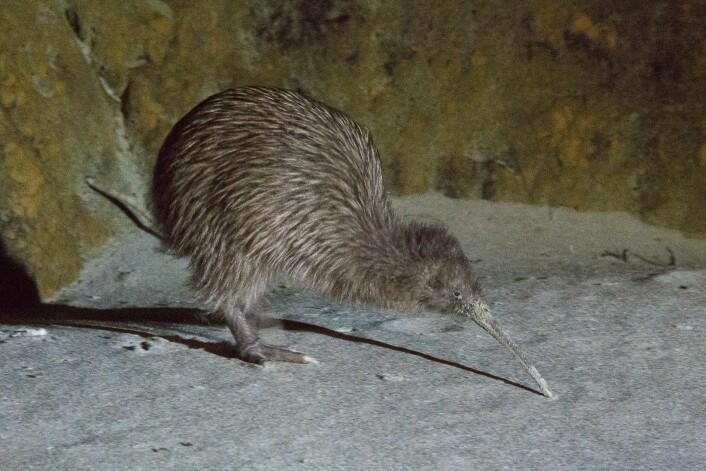 Kiwien er selve symbolet på New Zealand. I dag er alle de fem artene sårbare og flere av dem er truet av utryddelse. (Foto: Morten Günther)