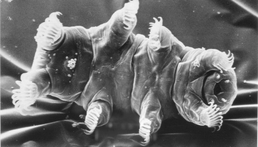 Echiniscoides sigismundi er det dyret som trolig tåler mest her på Jorden.  (Foto: Reinhardt Møbjerg Kristensen.)