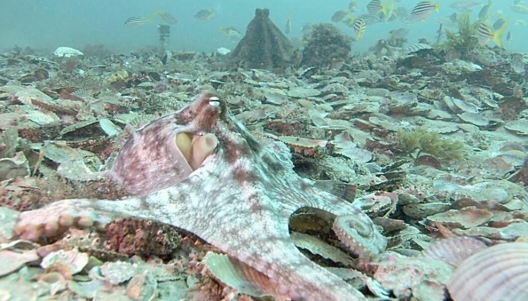 I forgrunnen ligger en blek blekksprut. I bakgrunnen står en annen blekksprut fra samme art. Den har skiftet til en mørkere farge og står oppreist. Det betyr at den er i ferd med å angripe dersom den andre blekkspruten ikke skyr unna.  (Foto: David Scheel)