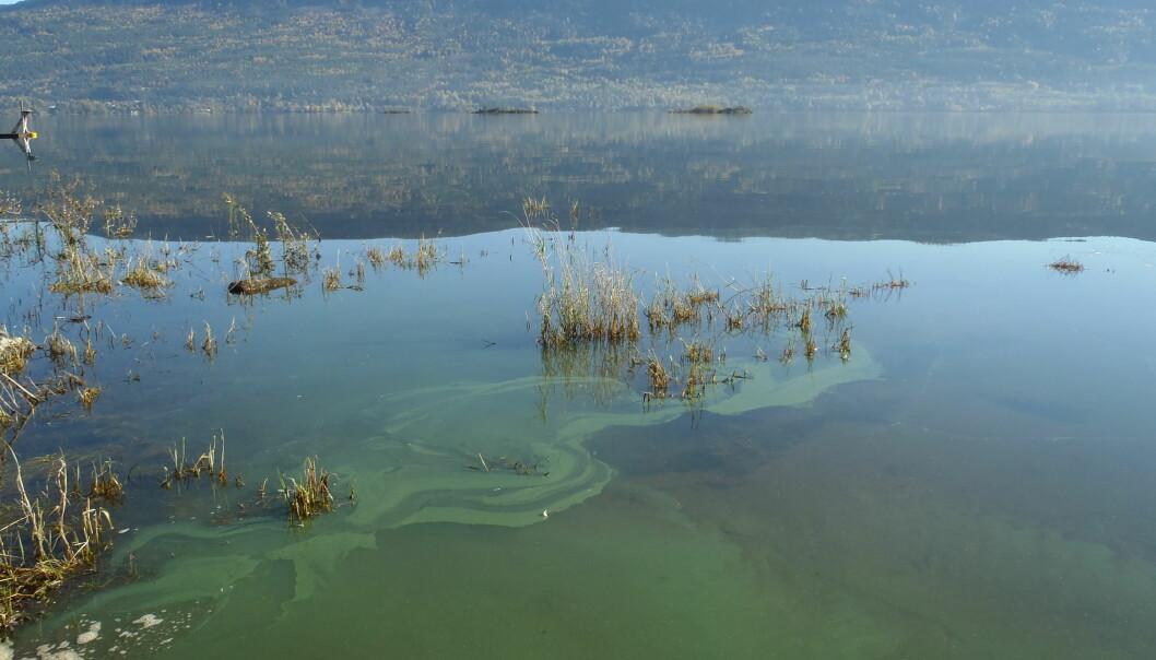 Oppblomstring av Planktothrix i Steinsfjorden i Buskerud. Planktothrix er synlig som et grønt belegg på overflaten av vannet. (Foto: Sigrid Haande, NIVA)