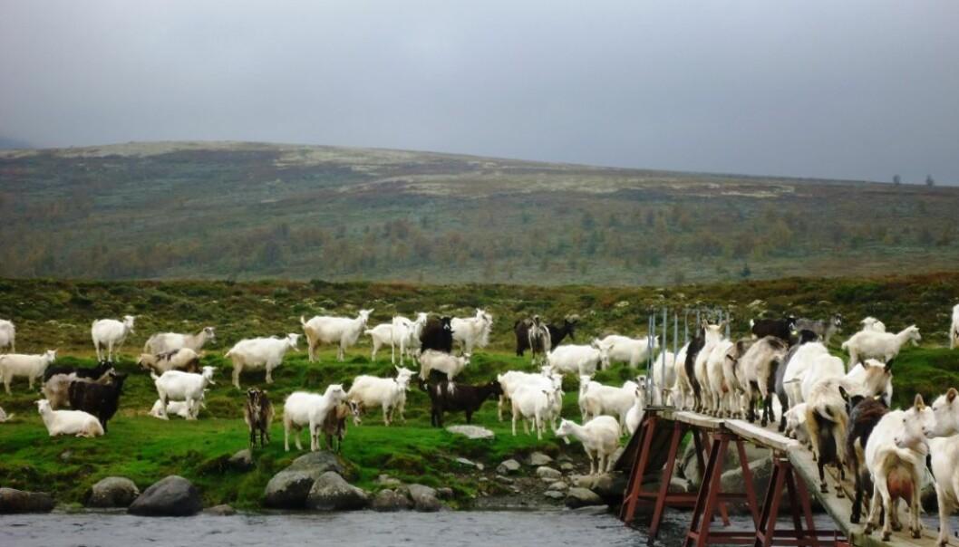 Sykdommene CAE, byllesyke og paratuberkulose hadde høy forekomst blant norske geiter og ga dem store plager. Nå er disse nesten utryddet blant norske geiter. (Foto: Ragnhild Aabøe Inglingstad)
