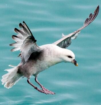 – Sjøfuglene er varslerne på havet. De kan si noe om hvordan det står til i økosystemet og er derfor indikatorer på helsetilstanden i havet, sier Norith Eckbo. Her – en måke. (Foto: Yngve Vogt)