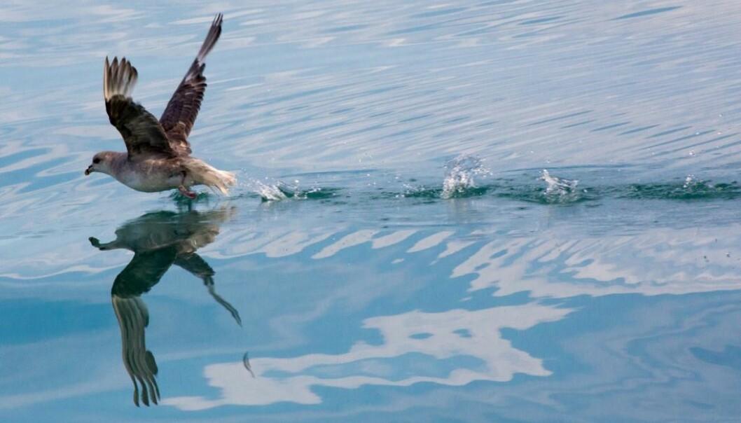Forskere undersøker nå hvordan kombinasjonen av moderne miljøgifter, som bromerte flammehemmere og vannavstøtende materialer, stresser arvematerialet til arktiske fugler.  (Foto: Yngve Vogt)